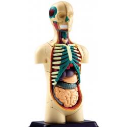 4D Corps humain anatomique Torso