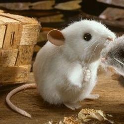 Kosen souris blanche