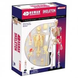 4D Squelette humain anatomique skeleton